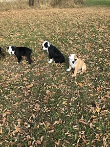 Adorable female bulldog puppies available