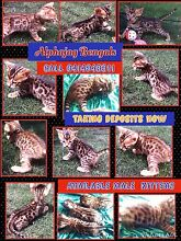 Bengal Golden Brown Rosetted Kittens(Glittered) Pedigree with Papers! Dulwich Hill Marrickville Area Preview