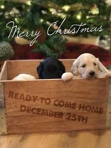 The BEST Christmas gift: Goldendoodle Puppies!