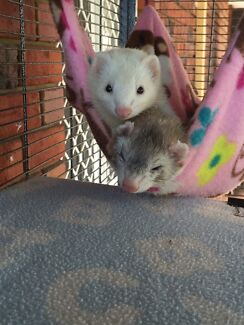 Wanted: Ferret rescue