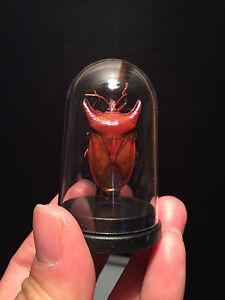 Cabinet-de-curiosites-Insecte-Globe-Eurypleura-bicornis-de-Thailande