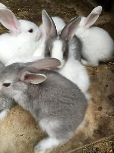 Flemish giant babies Tullamarine Hume Area Preview