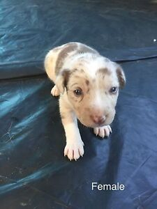 Border collie X puppy's Tarro Newcastle Area Preview