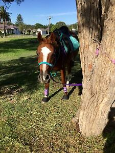 12 year old Quarter X Arab Mare Maitland Maitland Area Preview