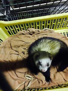 Sale baby ferrets Springvale South Greater Dandenong Preview