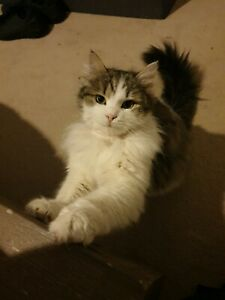 Purebred Siberian kitten