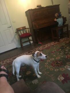 Jack Russell free to good home