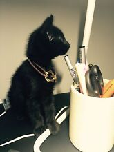 sweet kitty find a sweet home Lidcombe Auburn Area Preview
