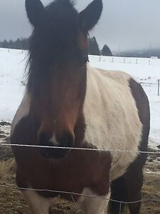 Paint mare eight years old excellent manners