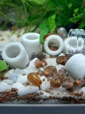 20 Caracoles Planorbis medianos lote especial limpia acuarios come algas 19h