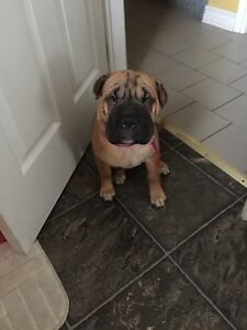 5 month old Shar Pai English Mastiff mix named CoCo