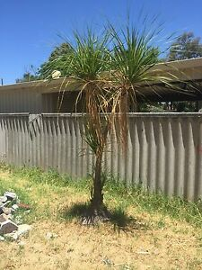 2.5m Healthy Ponytail Palm * * willing to swap for camping gear* * Mundijong Serpentine Area Preview