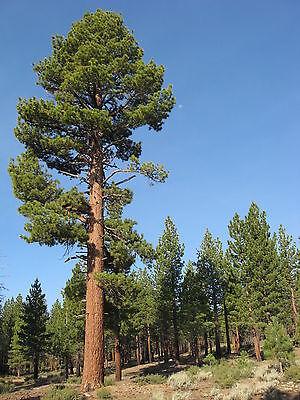 Pinus jeffreyi JEFFREY PINE TREE Seeds! ()