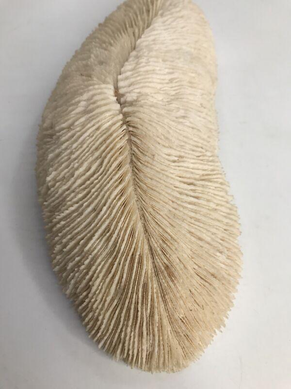 "Razor Coral Decor Shell Natural Ivory Color 8"""