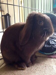 Rabbits- Dwarf lops looking for new home Burnside Melton Area Preview
