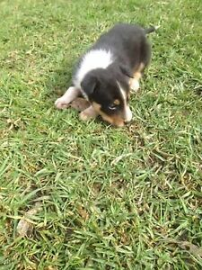 Border collie x kelpie puppies Pheasants Nest Wollondilly Area Preview