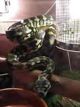 Adult jungle python Gawler Belt Gawler Area Preview