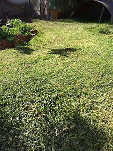 Buffalo lawn runners Falcon Mandurah Area Preview