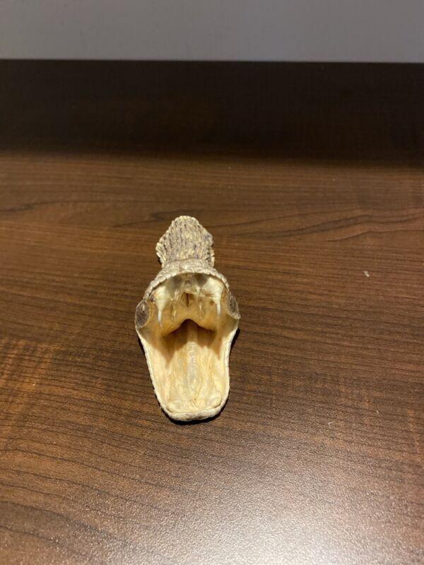Rattle Snake Head