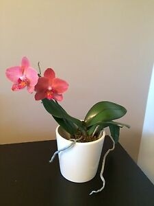 Beautiful Blooming Indoor Orchid Plant in White Ceramic Pot