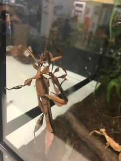 X3 Male & X1 Female spiny leaf insects