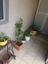 Pot plants Forestville Warringah Area Preview