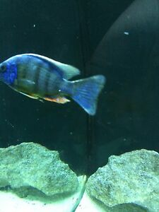 "4-5"" male Taiwan reef Cichlid"