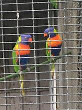 10 x LORIKEETS (RAINBOW & SCALEY) Busselton Busselton Area Preview