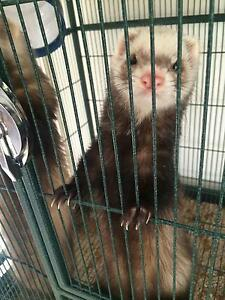 Ferrets, friendly fun loving Craigmore Playford Area Preview
