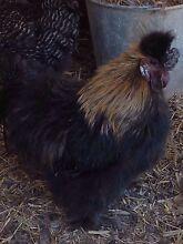 Silkie rooster Minlaton Yorke Peninsula Preview