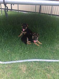 German shepherd puppies Wiley Park Canterbury Area Preview