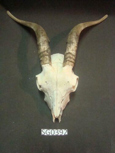 Goat skull wildlife outdoors yard decor SG0392