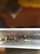 queen ant Brachyponera lutea(with worker) Armadale Armadale Area Preview