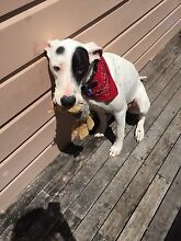 Beautiful, Friendly Great Dane X For Adoption Newstead Brisbane North East Preview