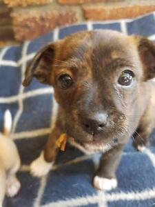 Awesome chihuahua x mini foxie puppies Mudgeeraba Gold Coast South Preview