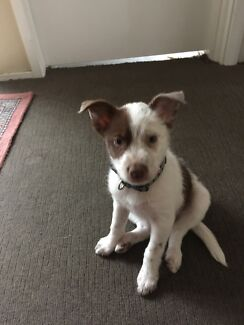 10 week old female puppy, Kurri Kurri Cessnock Area Preview