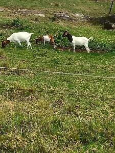 Goats kids boer x special this weekend Gerringong Kiama Area Preview