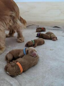 Beautiful 1st generation SPOODLE puppies available
