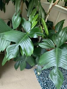 Mature Philodendron 'Florida' indoor tropical plant houseplant