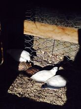 Female Japanese quails Kellyville The Hills District Preview