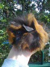 FLUFFY BOY GUINEA PIG>>>>> MORE NEXT WEEK SEE PICS Hornsby Area Preview