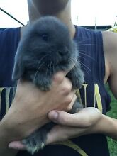 Mini lop ear bunnies for sale!! Tumbulgum Tweed Heads Area Preview