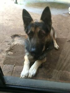 German Sheppard - Free to good home Sydenham Brimbank Area Preview
