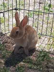 Standard rex rabbits for sale 8 weeks Mount Burr Wattle Range Area Preview