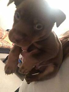 pure bred brown and tan australian kelpie Scarborough Stirling Area Preview