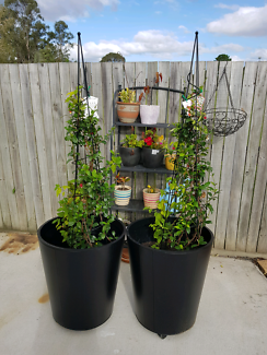 2 beautiful jasmine and brazillian flowers bell plants