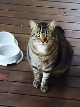 Gorgeous, gentle 5 yr old male Tabby cat need home urgently! Fairfield Brisbane South West Preview