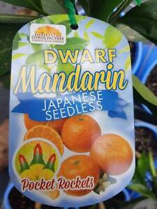 Dwarf Citrus - Lemons, Limes, Mandarins