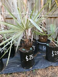 Bismarck palms $25 pick up only in north lakes