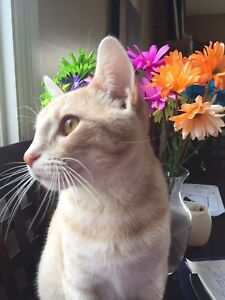 Spayed Male Ginger Cat looking for fur ever home...FREE